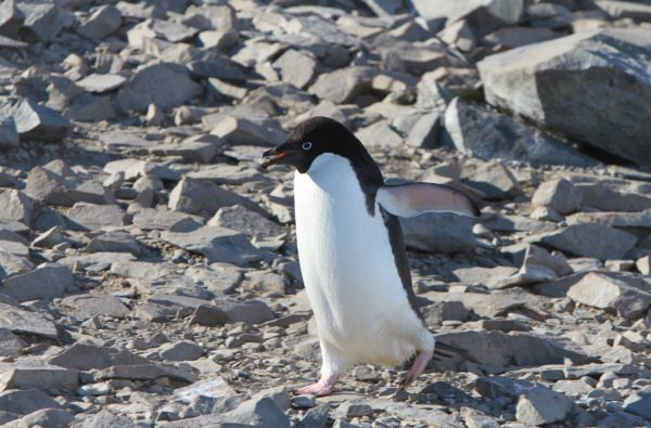 Adelie Penguins – Nature's Cutest Thieves May Play a Role as an Indicator Species