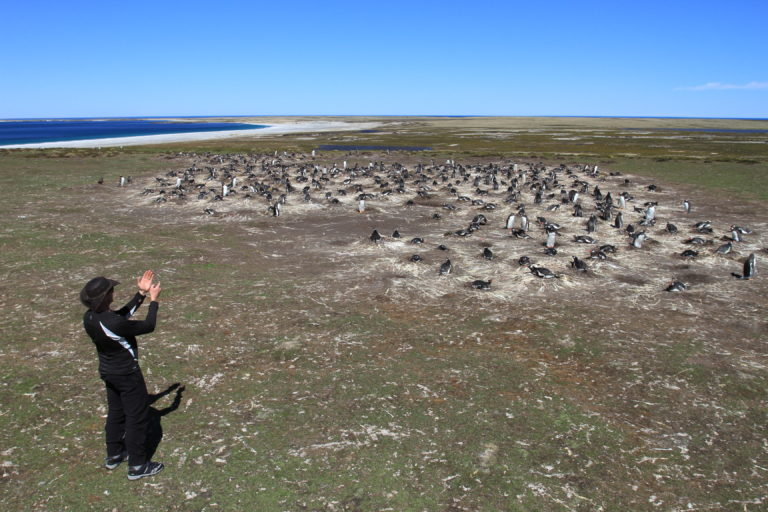 Studying penguins on the Falkland Islands.