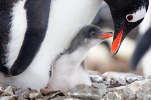 Gentoo penguin with chick.