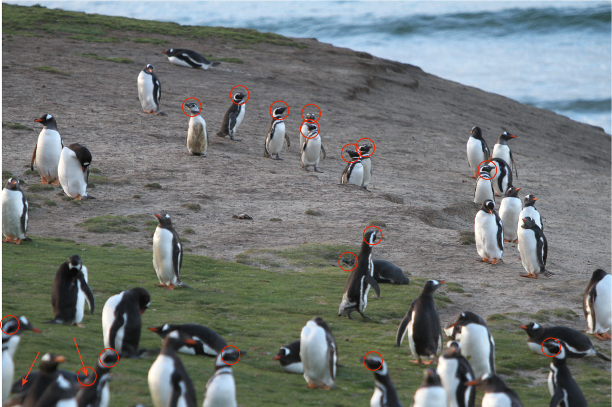 Penguin Quiz Answer – Penguin Counting