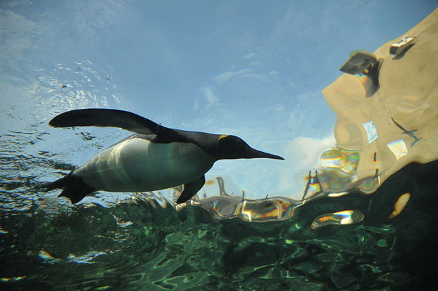 Fish Beware! – Penguins Adapt Effective Means of Capturing Prey