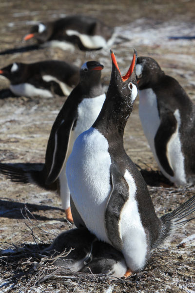 Gentoo Penguins–Fastest Flippers in the Falklands