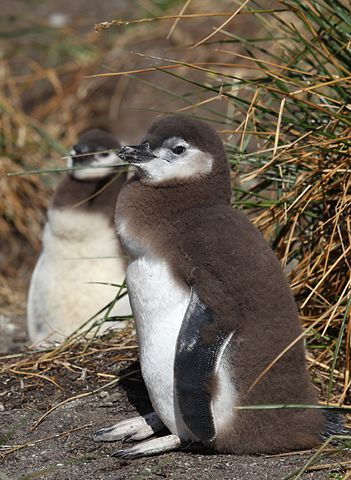 Magellanic Penguin chicks