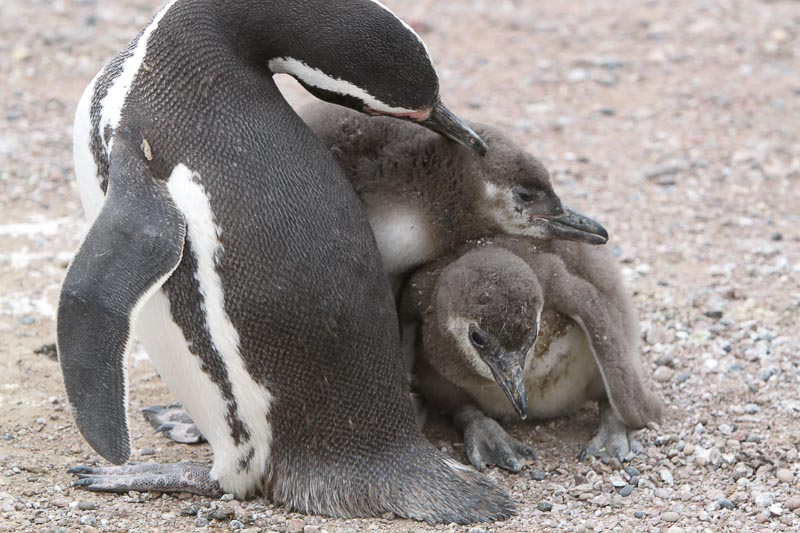 Magellanic Penguins Are Exemplar Parents
