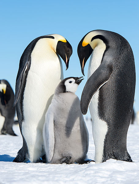 The journey of young Emperor Penguins