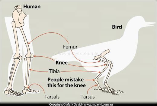 Penguin knees