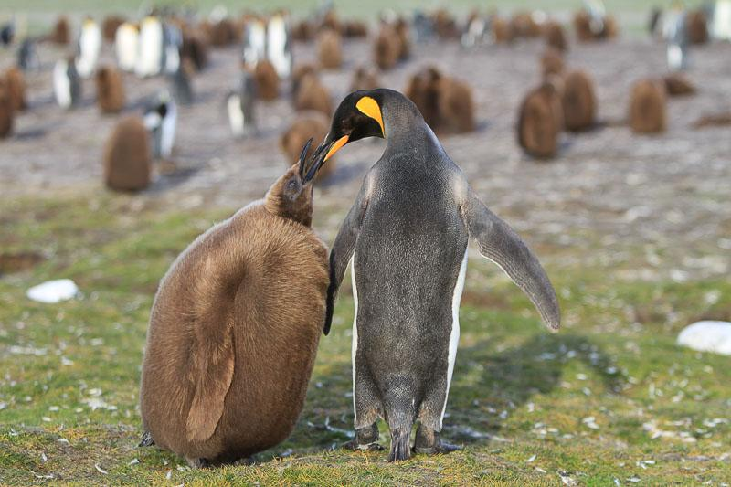 Penguins and Their Chicks: Super-Parents