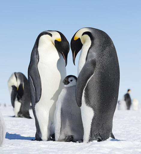 Emperor Penguins and their chick