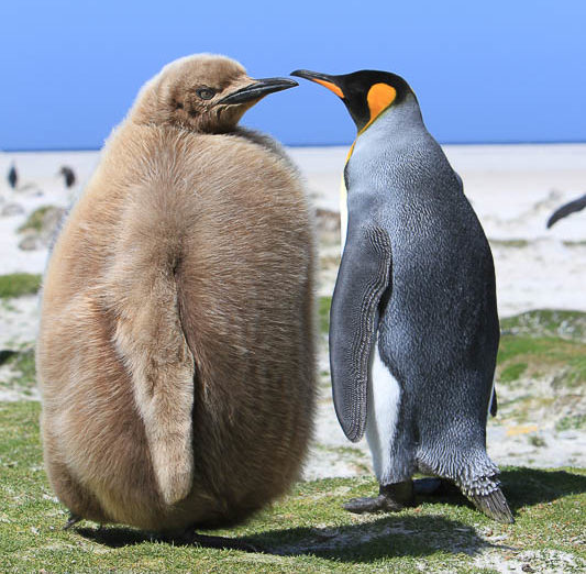 King Penguin with its chick showing penguin down feathers