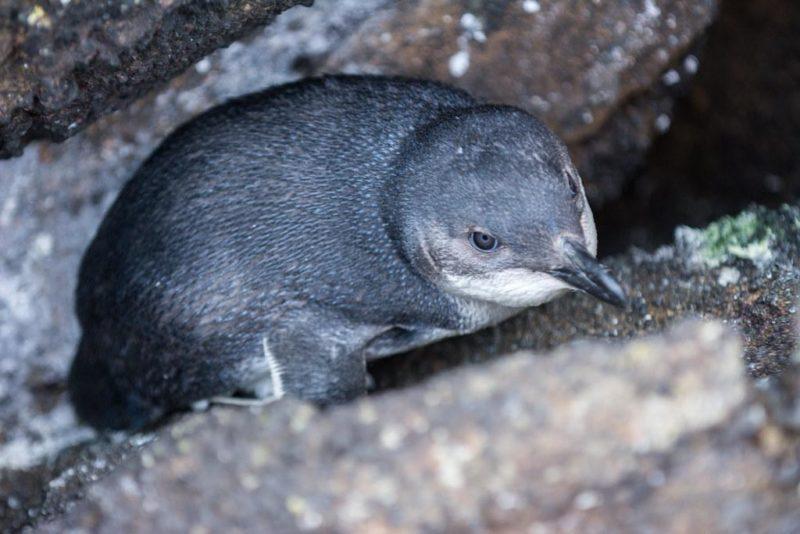 Little (Blue) Penguins: Dive Shape Versus Coastline Health