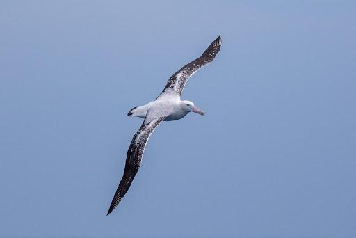 An albatross flying through the air
