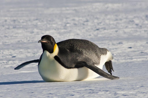 An emperor penguin tobogganing on the snow